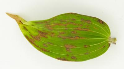 Plantago asiatica mosaic virus on lily leaf