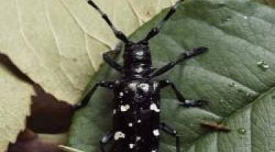 Asian Longhorn Beetle Credit Forest Research