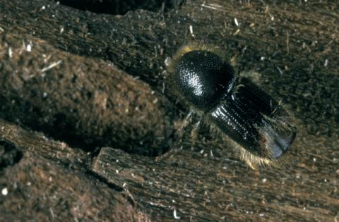 ips eight toothed bark beetle