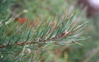 pine needle red band needle blight