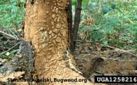 great spruce bark beetle damage