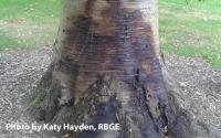 betula bleeding trunk